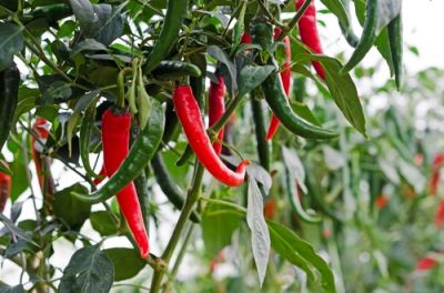 Plant of the Week: Chilli pepper